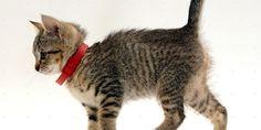 Котенок в ошейнике против блох