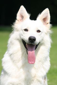 1000+ images about Berger Blanc Suisse on Pinterest