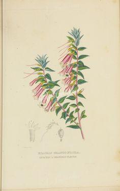 epacris grandiflora      ...