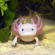 El ajolote es un animal muy singular porque puede pasarse toda la vida en estado larvario. Además, dispone de la sorprendente capacidad de regenerar los órganos dañados o destruidos. Esta increíble facultad seduce especialmente a los científicos que la estudian con interés. #axolotl #metamorfosis #eterna http://www.pandabuzz.com/es/animal-del-dia/características-ajolote-larva