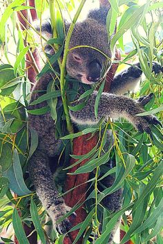 The best things to do in Hamilton Island, Australia- and where you can hold this cute, cuddly koala!