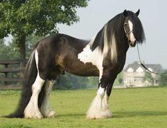 gypsy vanner horse - Google 検索