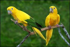 Golden Parakeet or Golden Conure (Guaruba guarouba) by Paul Bratescu on flickr. This neotropical parrot is native to the Amazon Basin of interior northern Brazil.