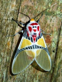 Idalus herois, Tiger moth of Belieze.