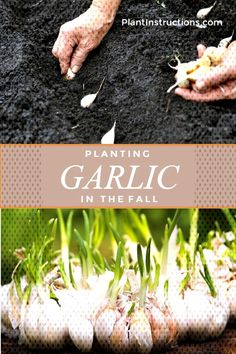 Planting Garlic in FallYou can find Planting garlic in fall and more on our website.Planting Garlic in Fall Garden Bulbs, Planting Bulbs, Planting Succulents, Planting Flowers, Planting Garlic In Fall, Planting Vegetables, Growing Vegetables, Veggies, Fruit Garden