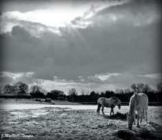 snowy horse pastures