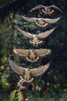 a silence of owls (in flight)