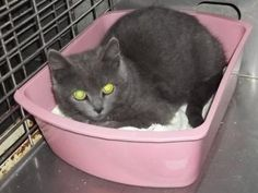 7/2016sl*  7/2015***Petango.com – Meet Dusty, a 3 years 5 months Domestic Shorthair / Mix available for adoption in CLINTON, MO