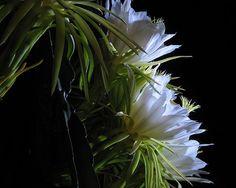 Dama-da-noite pode ser cultivada sob sol pleno ou meia-sombra e não exige regas constantes (Reprodução/Internet/Foto: Claudia Musso)