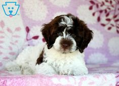 Cuddles | Cockapoo Puppy For Sale | Keystone Puppies