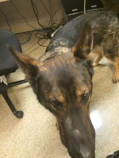 High play drive makes office days long - Police Dogs
