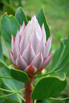 Photograph - Protea Flower Blossoming by Amy Fose ,