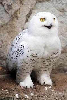 """Hedwig"" (Harry Potter's Owl)."