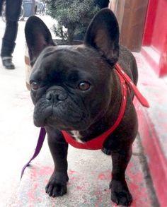 Winnie, the French Bulldog, @mydogwinnie-blog on tumblr