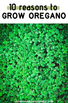 Oregano is an amazing herb, and definitely one that you should have in your backyard herb garden. Not only does it add great flavor to your favorite dishes, its also a powerful medicinal herb. Learn 10 reasons why you should be growing oregano!