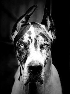 beautiful harlequin Great Dane
