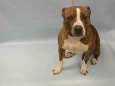 Brooklyn Center WILLIM – A1073278  **LEGAL HOLD  05/11/16**  NEUTERED MALE, BR BRINDLE / WHITE, PIT BULL MIX, 5 yrs STRAY – STRAY WAIT, HOLD FOR LEGAL Reason OWNER HOSP Intake condition EXAM REQ Intake Date05/11/2016, From NY 11201, DueOut Date05/14/2016, I came in with Group/Litter #K16-056924 Urgent Pets on Death Row, Inc