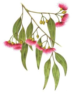Fruit Illustration Watercolour Flower Paintings 45 Ideas For 2019 Australian Wildflowers, Australian Native Flowers, Australian Plants, Australian Tattoo, Australian Art, Botanical Drawings, Botanical Prints, Flower Images, Flower Art