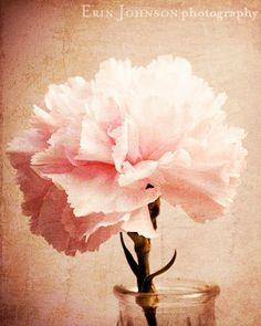 Shoply.com -Pink Carnation -Flower Photograph-Fine Art Print 5x7. Only $15.00