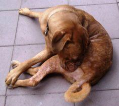 #Futtermittelunverträglichkeiten zeigen sich beim #Hund hauptsächlich über die Haut. Symptome sind jedoch auch an anderen Organsystemen, z.B. am Magen-Darm-System möglich. Äußern kann sich eine Futtermittelunverträglichkeit beim Hund durch Erbrechen, Durchfall, Blähungen, Aufgasungen oder Bauchkrämpfe. Auch wenn ein Hund häufiger als drei Mal am Tag Kot absetzt, könnte dies eine Reaktion auf Futtermittel sein.