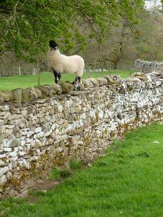 Swaledale Lamb by Paul Proctor
