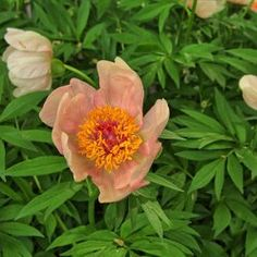 Image result for peony nosegay
