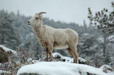 Rocky Mountain National Park, Big Horn Sheep