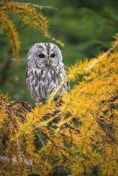Superb Nature - drxgonfly: Tawny owl (by Tomáš Hilger) Beautiful Birds, Animals Beautiful, Strix Aluco, Owl Species, Tawny Owl, Barred Owl, Good Vibe, Great Grey Owl, Owl Pictures