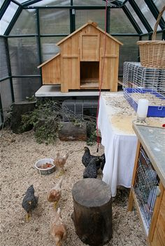 Greenhouse/Chicken Coop. A little tour: under the wooden coop is the quail area, lower right is a hutch with a half dozen Japanese Coturnix or button quail - the rest is all chicken territory. I moved the final five hens in at sunset last night, and am hoping this morning that they will start to merge into one flock…without too much bloodshed. They are nearly full grown Aracauna mixes (and gorgeous), and a new pecking order is likely to take place. (post on Quickwitter/November 11 11)