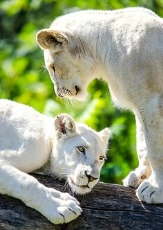 White Lion Cubs, by Nuao on Flickr.
