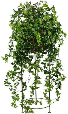 English Ivy- the number one houseplant to grow indoors according to NASA.  It is the plant that most effectively absorbs formaldehyde, and prefers moderate temps and medium sunlight.