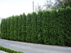 taxus baccata 39 fastigiata robusta 39 usda zone 5 8 tuin. Black Bedroom Furniture Sets. Home Design Ideas