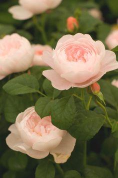 white rose | yellow rose | bouquet of roses | beautiful roses | rose bush | lavender roses | visit http://ginaroma.com for more.. #beautifulflowersroses