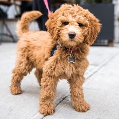 """MAR 16, 2016 Rory, Miniature Goldendoodle (3 m/o), New York, NY • """"When she gets scared of the vacuum cleaner, she hides between the wine bottles. It's her safe place."""""""