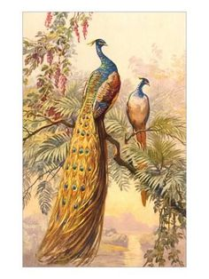 Art Print: Peacock and Peahen, Illustration Art Print : 24x18in