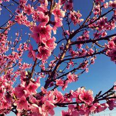 #FIORI_DI_PESCO  #my_garden #loryandalpha #lory_alpha #la_pinkflowers e#la_treesinblooming #la_trees #la_flowers #lovers_home4 #vivo_natura #bestflowerspics #la_onlyphone #loves_garden #natureloversgallery #la_details #la_welcomespring by faby_pass