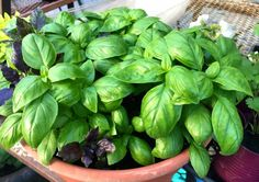 How to Grow Basil – Everything You Need To Know