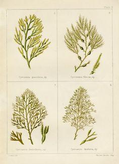 seaweed botanicals