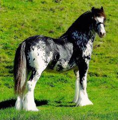 My dream horse. Mixed Gypsy Vanner and Appaloosa. BEAUTIFUL!