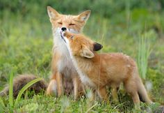 Summer foxes