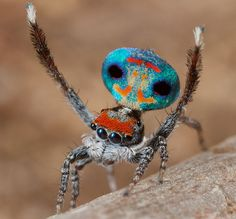 Frighteningly Beautiful Shots of Australian Peacock Spider 13. He is so cute! I like the jumping spiders, I let them live. Lol