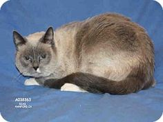 Siamese Cat for adoption in Hanford, California - A038363