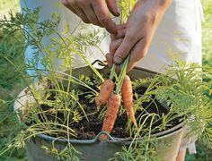 wortels in een emmer!:D