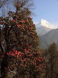 In spring, vibrant rhododendron blooms everywhere in the Annapurna region, Nepal