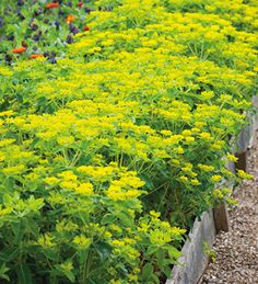 Euphorbia oblongata is the all round best-looking longest-flowering foliage plant you can find anywhere in the world. Use it to line your paths in your cutting patch. Rockery Garden, Cottage Garden Plants, Garden Beds, Gravel Garden, Townhouse Garden, Herbaceous Border, Cut Flower Garden, Flower Farm, Foliage Plants