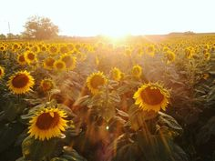 Sunflower field... yassıören village..