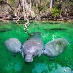 A Manatee nurses her twin calves in Blue Spring State Park, Florida. Twins are very rare for Manatees. Mothers nurse their young for one to two years.