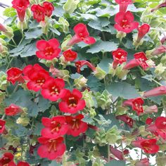 Lofos Wine Red at Suttons Seeds Sutton Seeds, Canna Lily, Balcony Plants, Tall Plants, All Flowers, Petunias, Planting Flowers, Floral Wreath, Wreaths