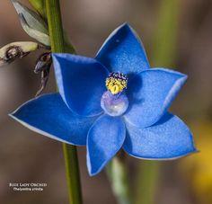 Blue-Lady Sun-orchid: Thelymitra crinita - Flickr - Photo Sharing!
