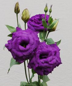 Floraco wholesales Lisianthus and other cut flowers to the majority of Western Australian florists. Order Flowers, Cut Flowers, Floral Flowers, Colorful Flowers, Beautiful Flowers, Flower Colors, Floral Wedding, Wedding Flowers, Purple And Green Wedding